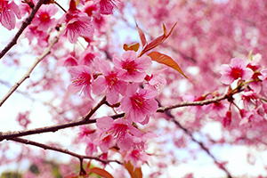 Blossoms of Hope Native Dogwood Tree