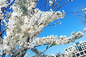 Sponsor a Legacy Tree: One of Three Sapling Trees Directly From the Tidal Basin
